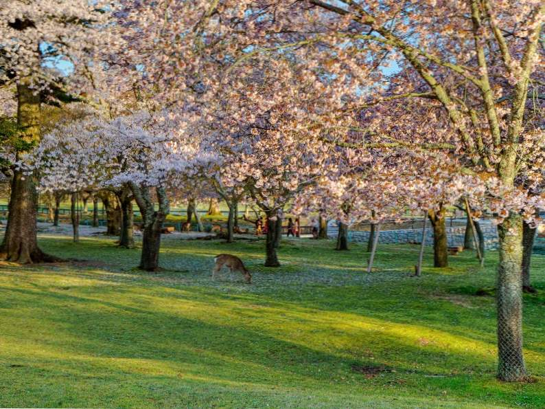 10 best places to see japans famous cherry blossoms 4