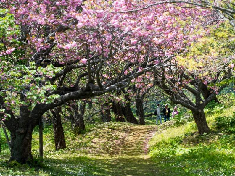 9 best places in japan to see cherry blossoms 9