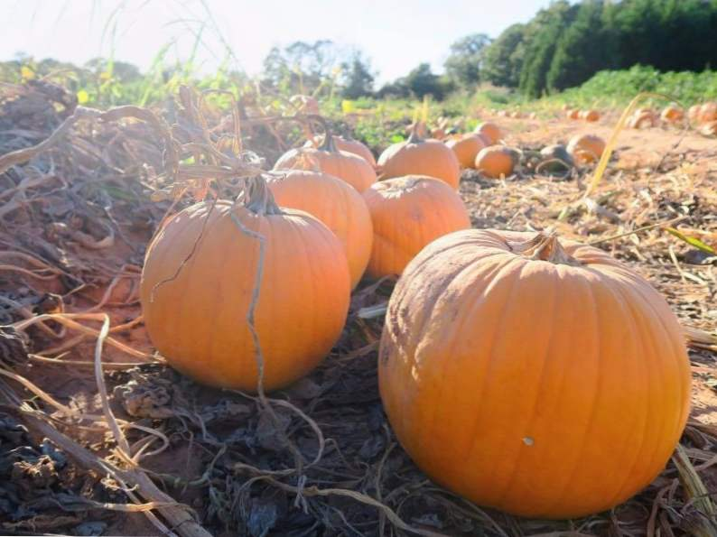 10 pumpkin patches to visit in georgia this fall