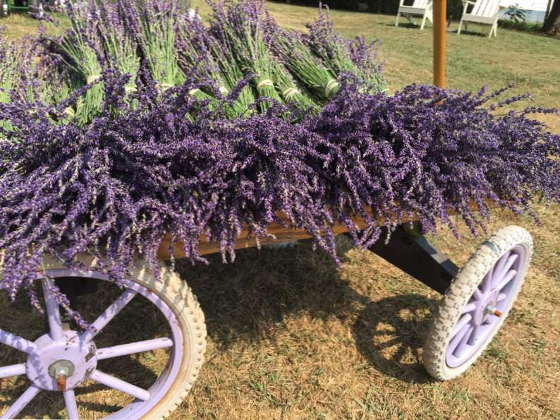 5 reasons to visit the red oak lavender farm in dahlonega georgia