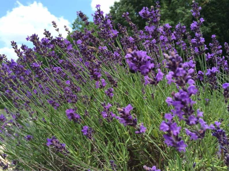 5 reasons to visit the red oak lavender farm in dahlonega georgia 3