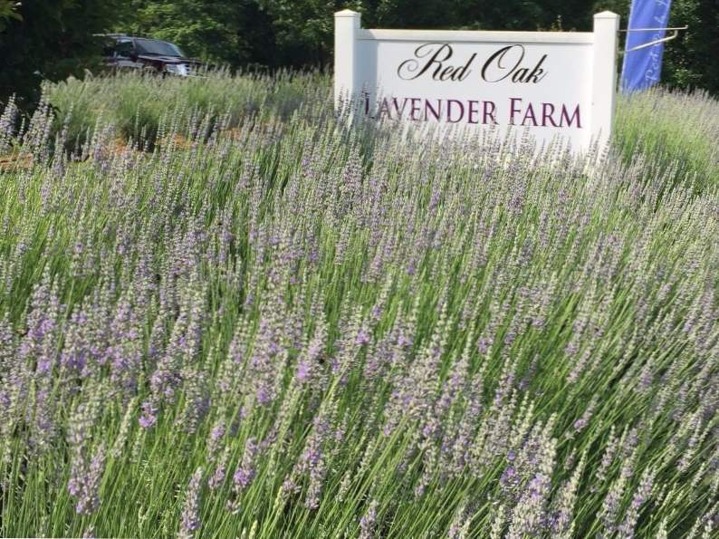 5 reasons to visit the red oak lavender farm in dahlonega georgia 4