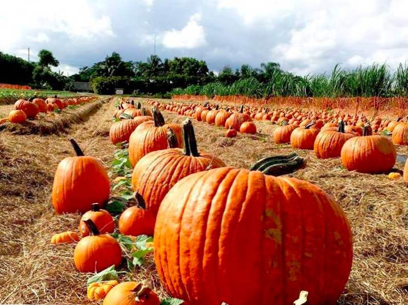 top 9 pumpkin patches to visit this fall in florida