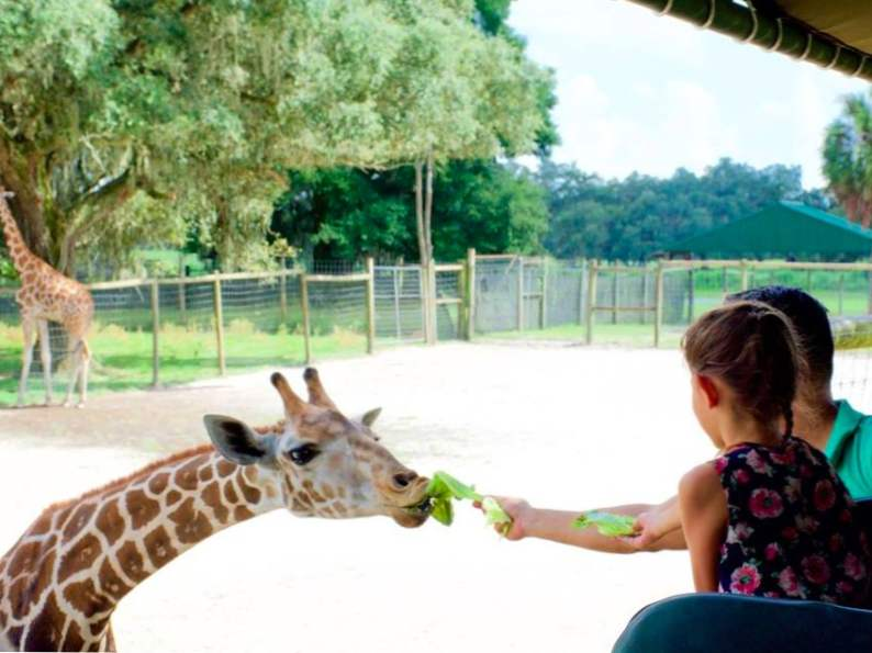 you can feed giraffes at this wildlife preserve in florida